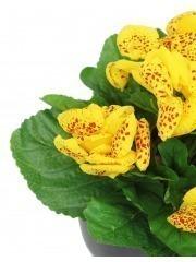 Calcéolaire artificielle jaune
