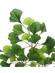 Branche de Ginkgo biloba