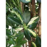 Schefflera arboricola artificiel