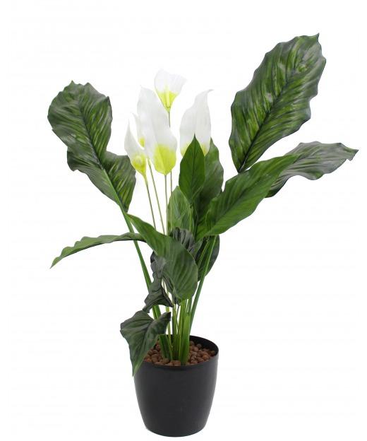 Spathiphyllum fleur de lune