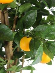 Oranger artificiel verger