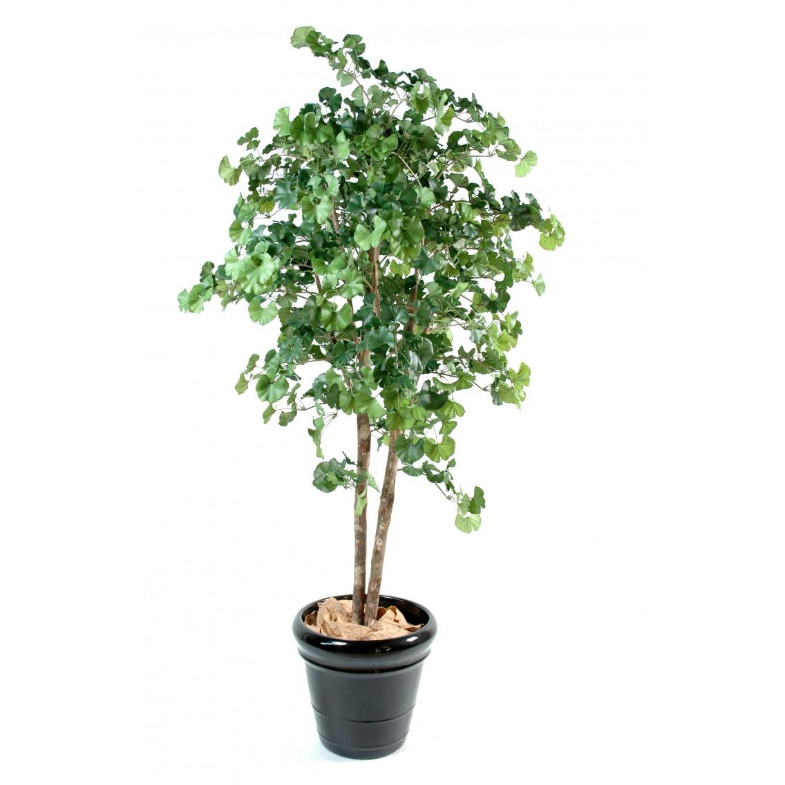 Ginkgo biloba à deux troncs