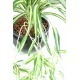 Chlorophytum artificiel