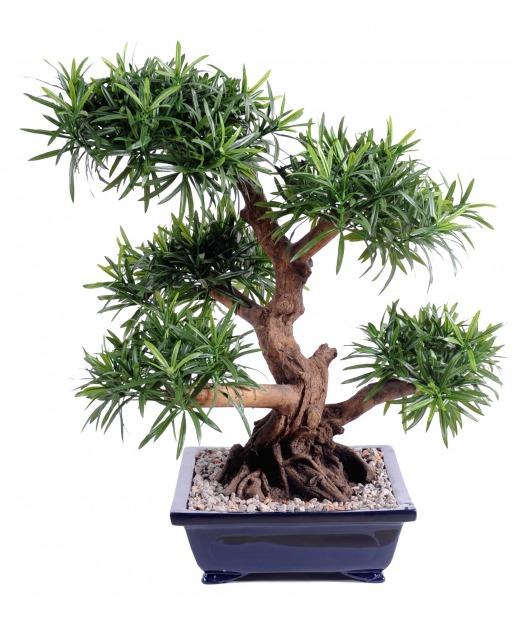 Bonsaï podocarpus géant 68 cm