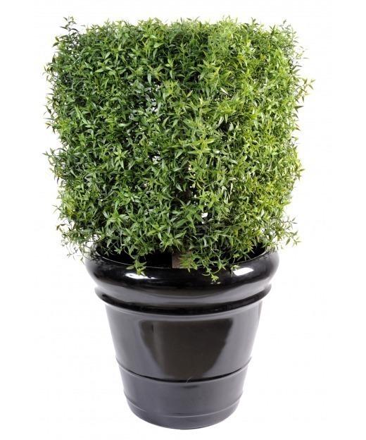 Buisson d'eucalyptus 60 cm