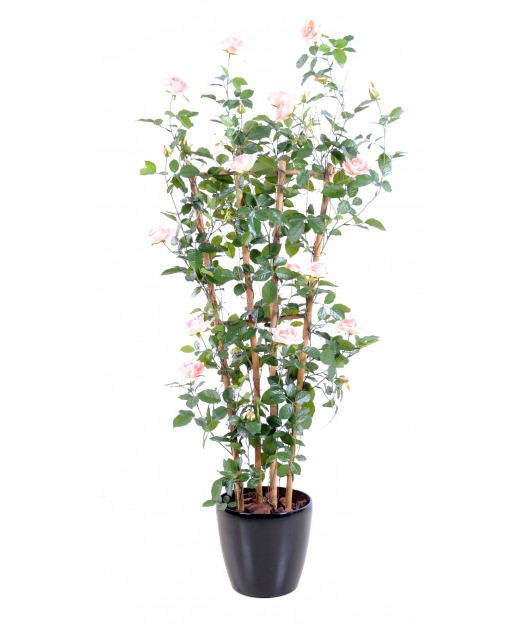 Palissade de rosier 160 cm