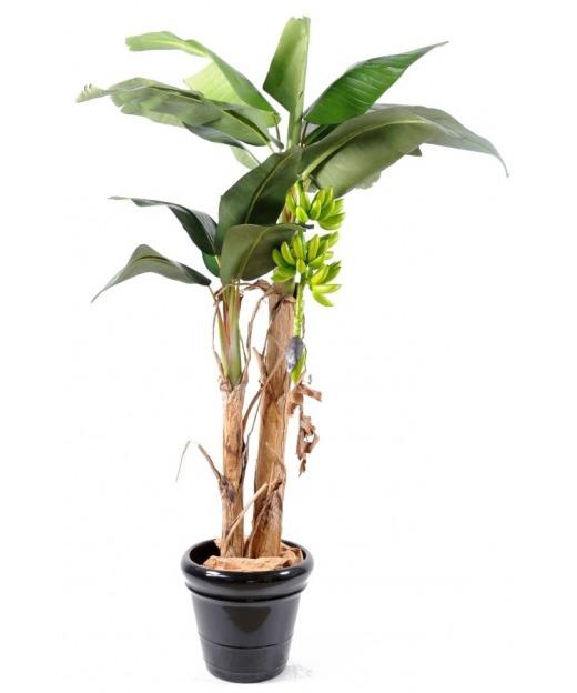 Bananier double tronc 210 cm