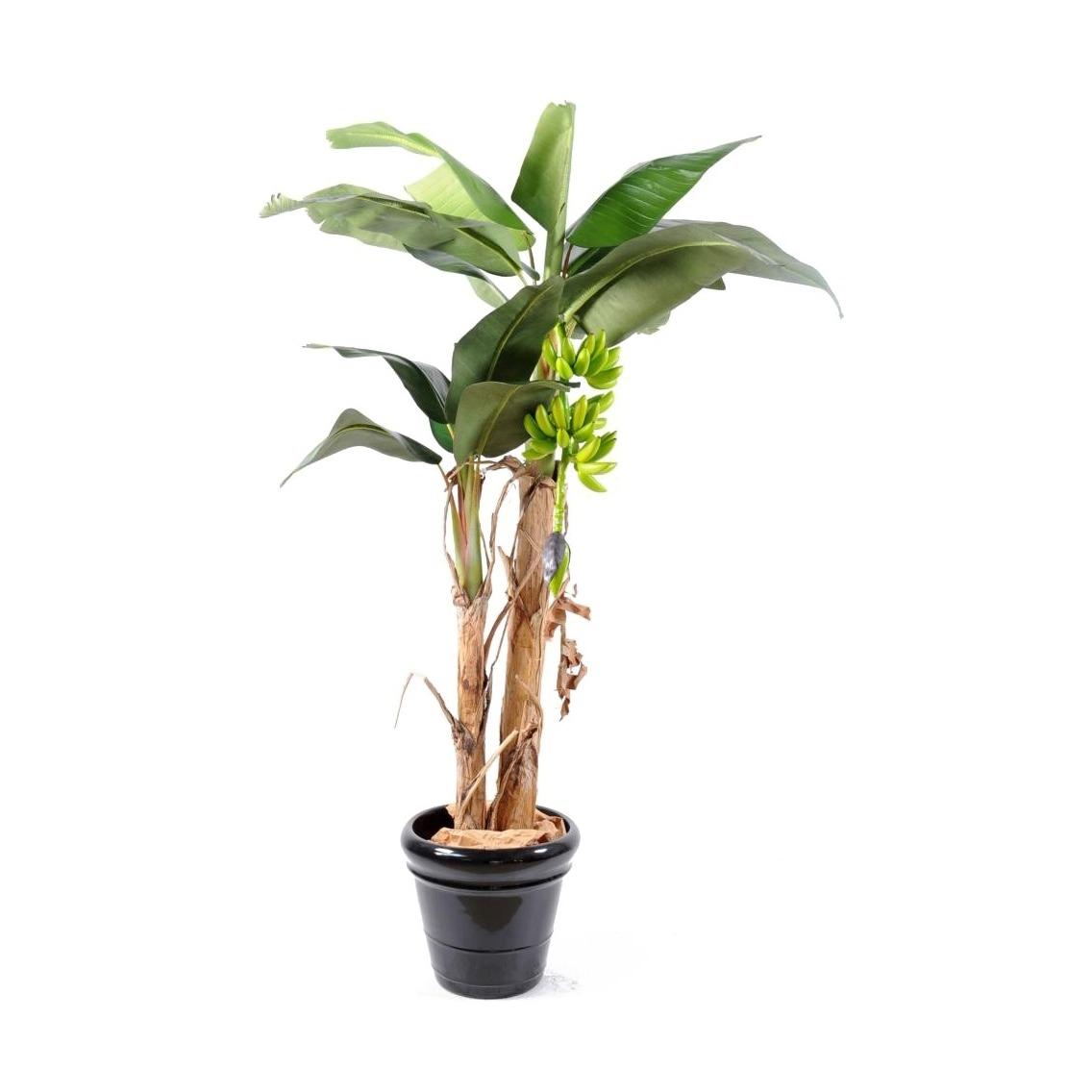 Bananier double tronc