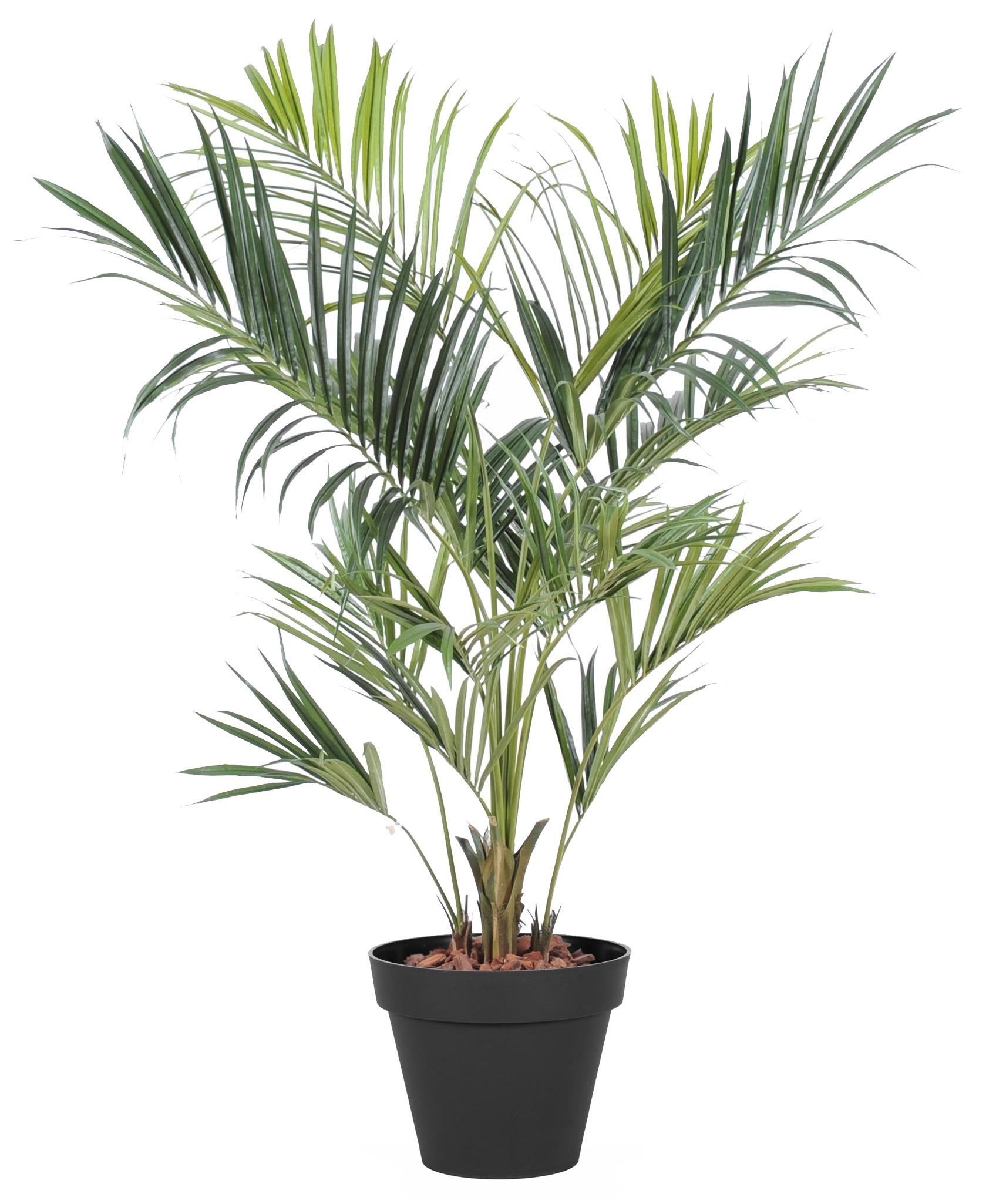 Palmier nain exterieur le palmier nain palmier nain for Palmier exterieur