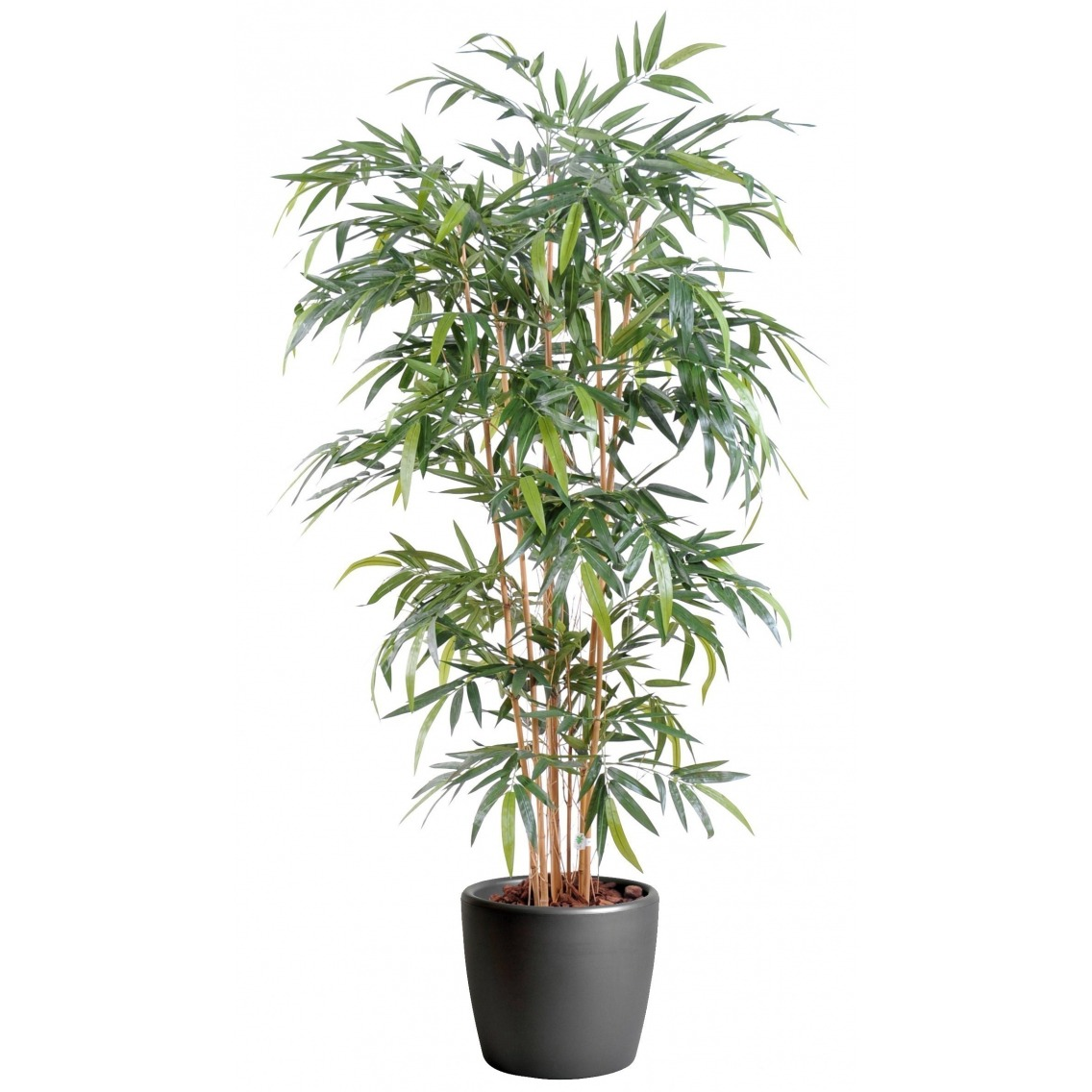 Faux bambou kimmei