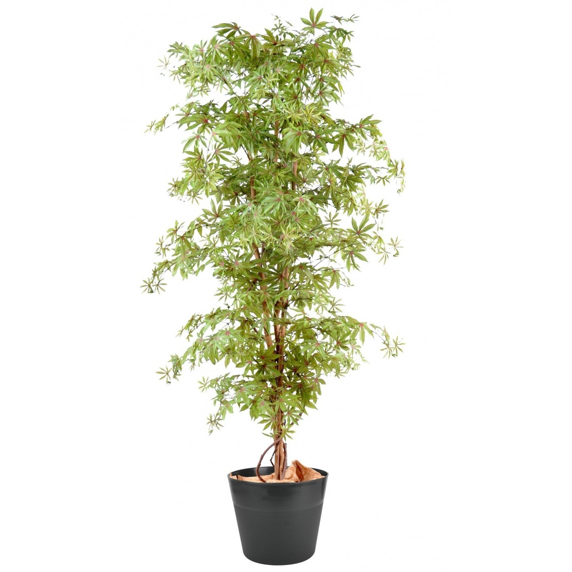 Aralia vert/rouge