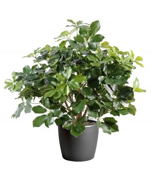 Schefflera buisson luxe 90 cm