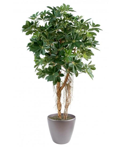 Schefflera vert 150 cm