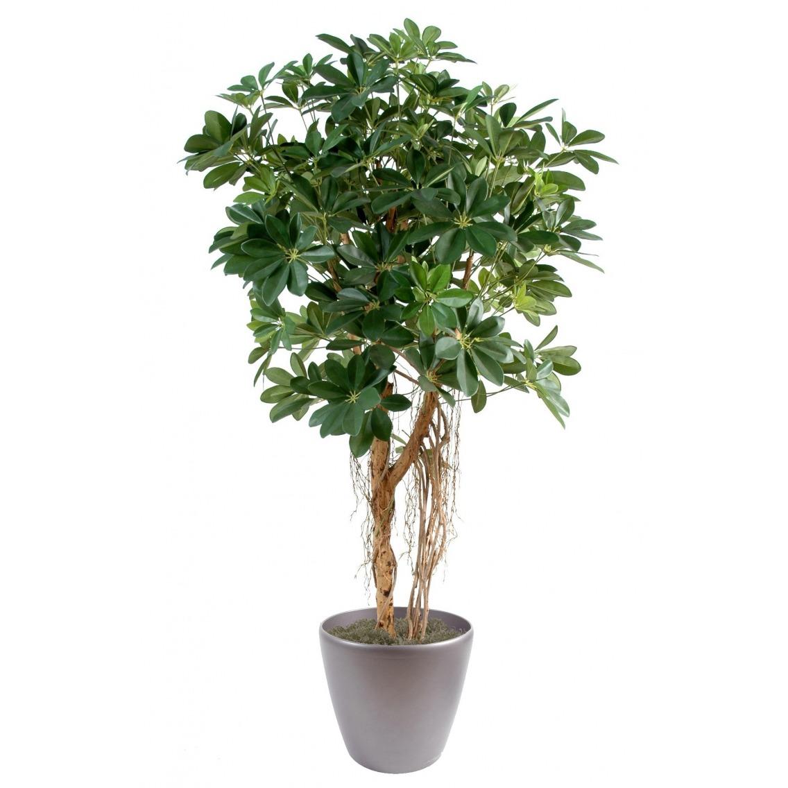 Schefflera vert