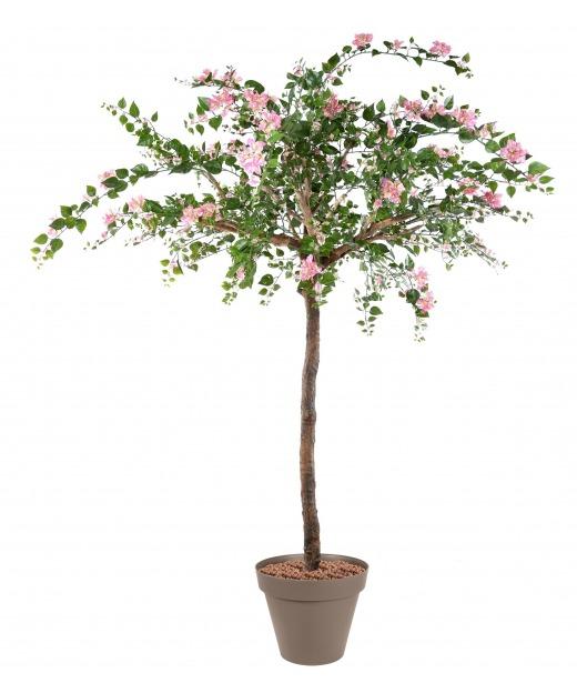 Grand bougainvillier fleuri 280 cm