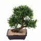 Bonsaï artificiel podcarpus
