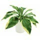 Hosta artificiel asie