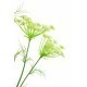 Daucus carota artificiel