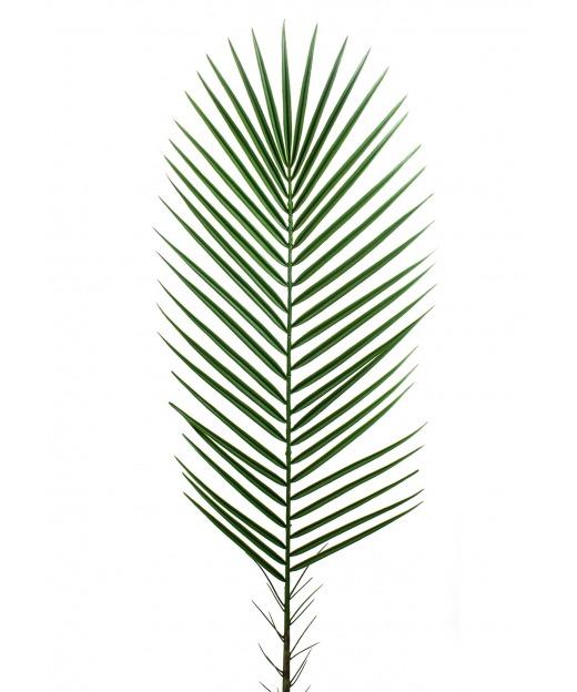Feuille de palmier des canaries 95 cm