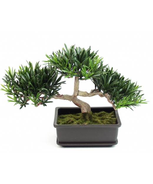 Bonsai podocarpus mini 22 cm