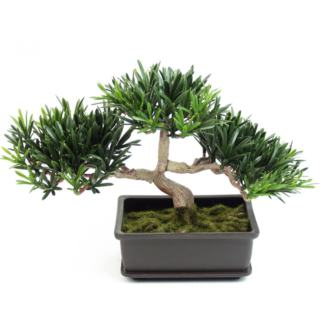 Bonsai podocarpus mini