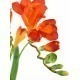 Freesia artificiel