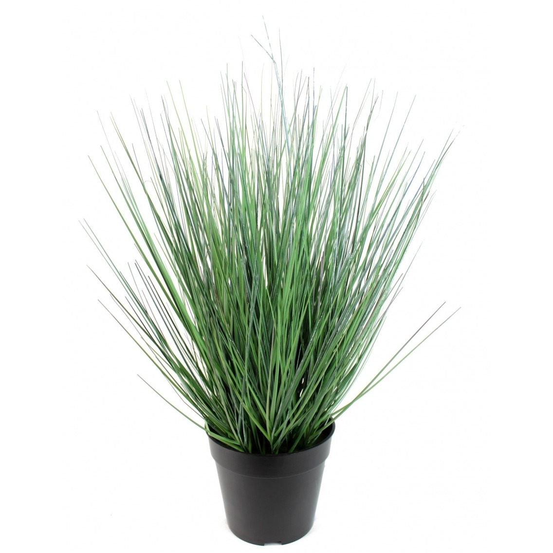 Onion grass des marais