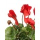 Cyclamen artificiel rouge