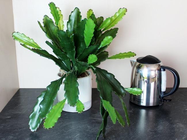 Epiphyllum artificiel cuisine